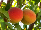 Cover photo for Managing Fruit Trees in the Home Landscape