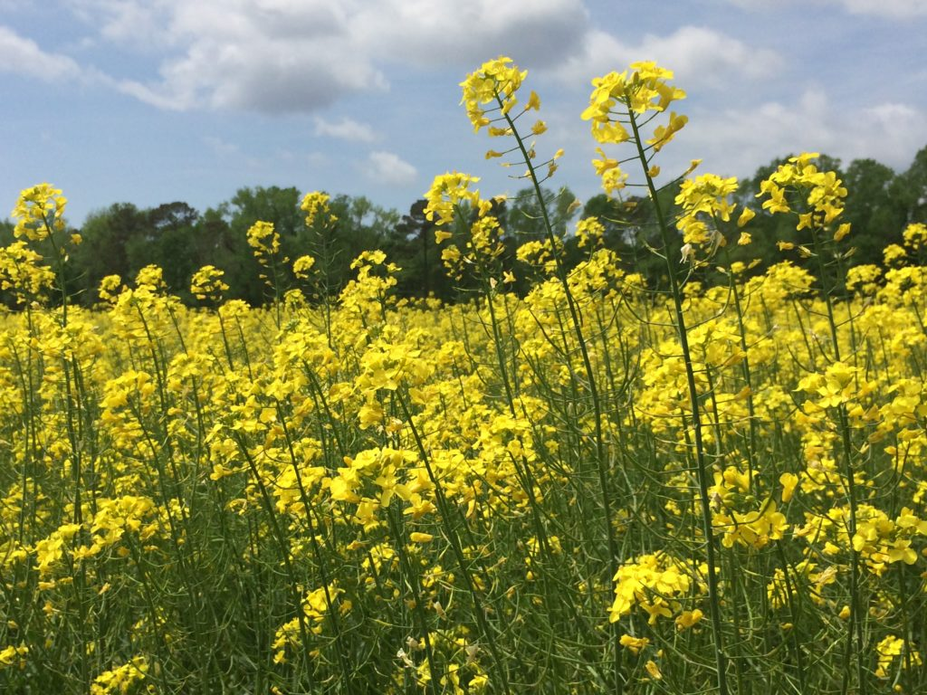 What Is All That Yellow North Carolina Cooperative Extension