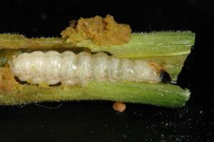 squash vine borer larvae