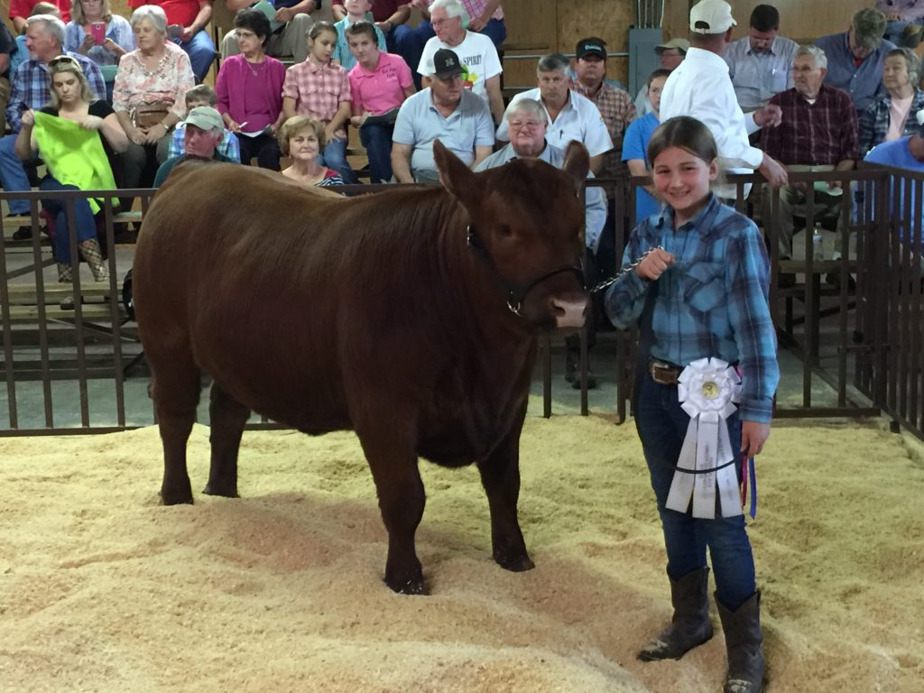 Girl showing a steer