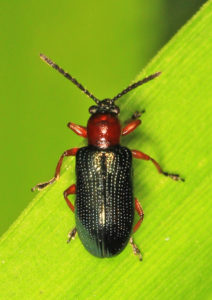 adult cereal wheat beetle