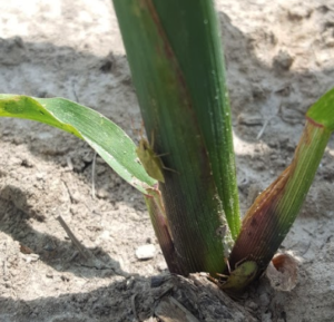 Brown sink bug feeding on corn
