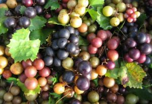 purple, green and red grapes