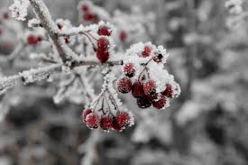berries on tree with frost
