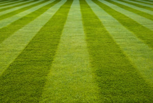 rows of green grass