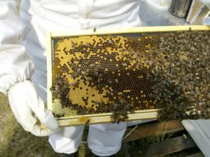 beekeeper in white suit with tray of bees