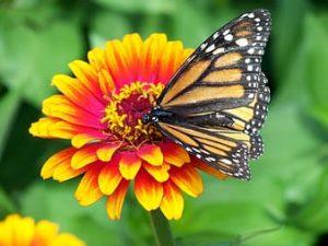 blanket flower & monarch butterfly