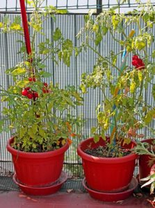tomato plant growing in pots