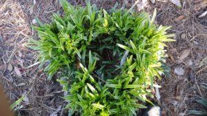 green lirope grass