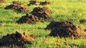 mole damage dirt mounds