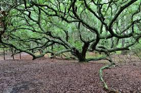 lov oak tree