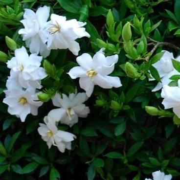 Radicans gardenias