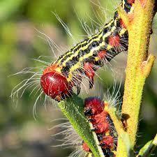 azalea caterpillars