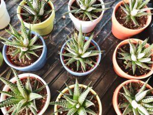 ale vera plants