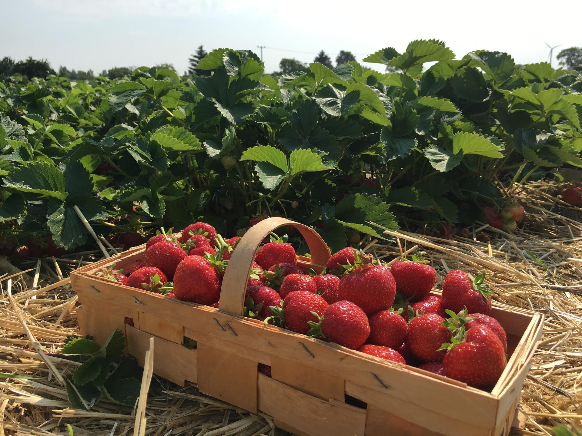 basket of strawberries in field
