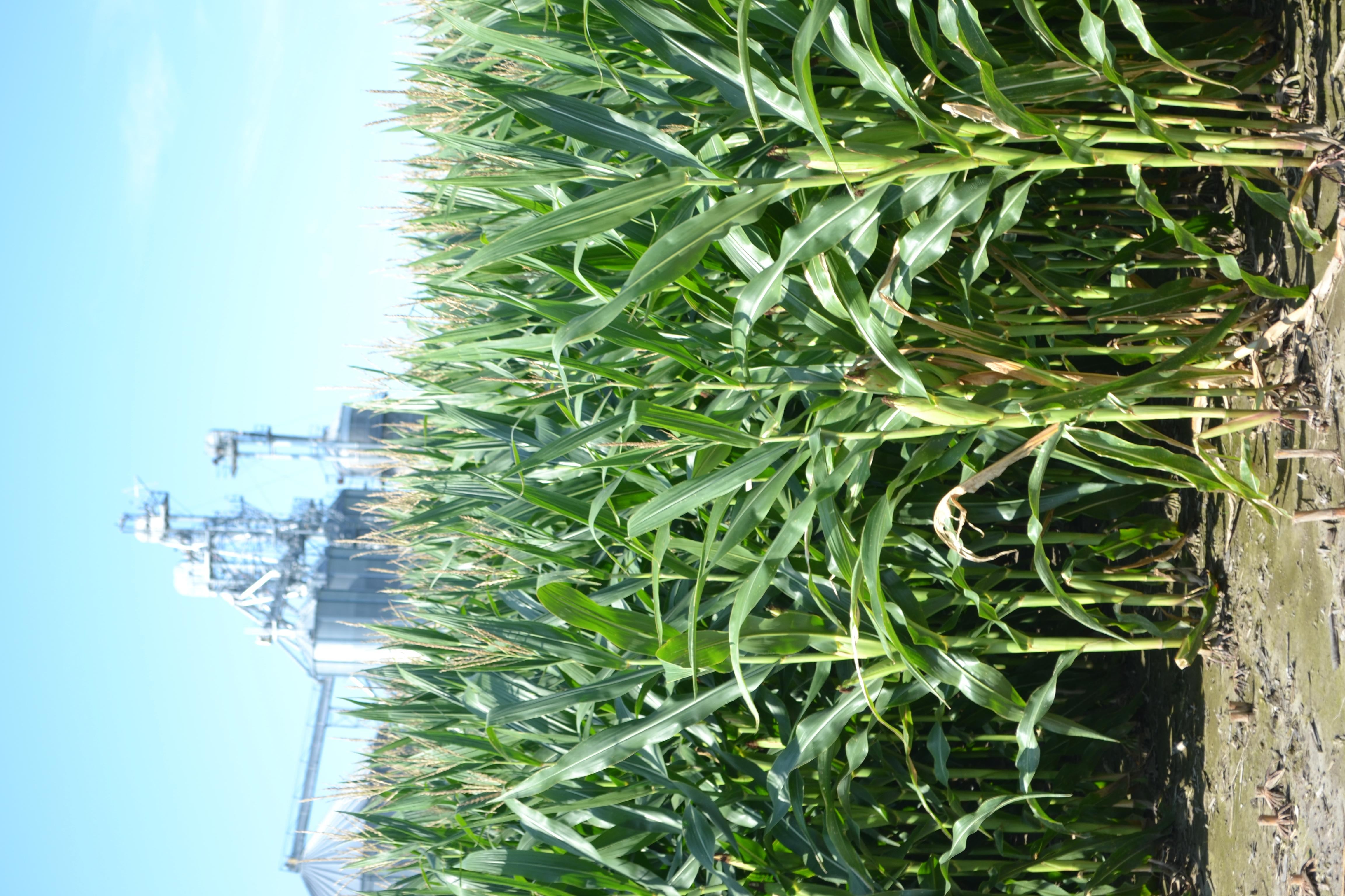 Corn Field with Grain Bin