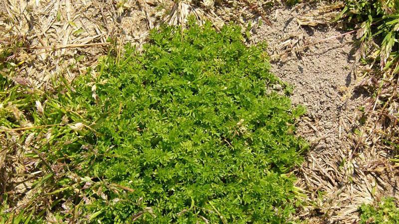 burrweed
